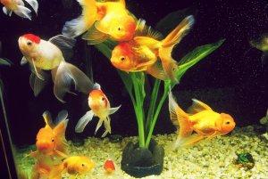 Природа на рабочий стол с золотой рыбкой