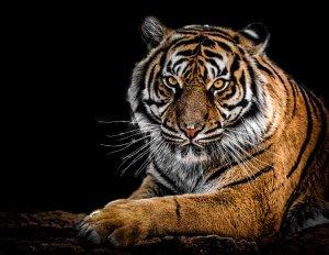 Тигр дикие скачать обои на рабочий стол в один клик!